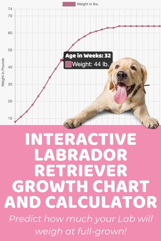 Interactive Labrador Retriever Growth Chart and Calculator