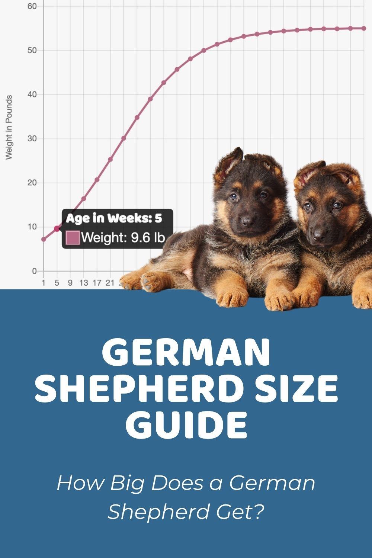 German Shepherd Size Guide_ How Big Does a German Shepherd Get?