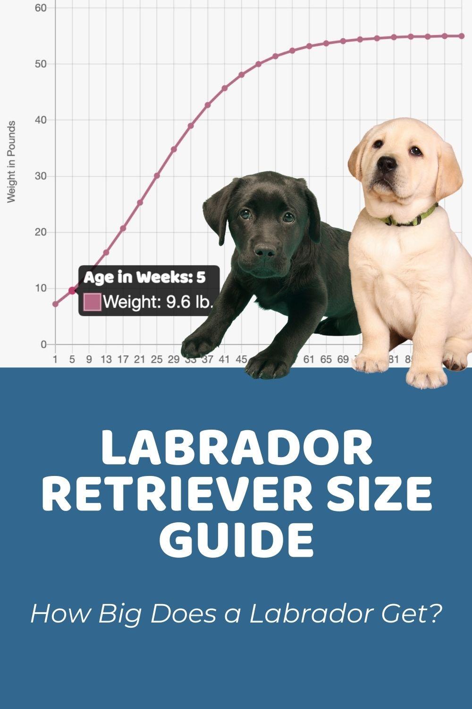 Labrador Retriever Size Guide How Big Does a Labrador Get