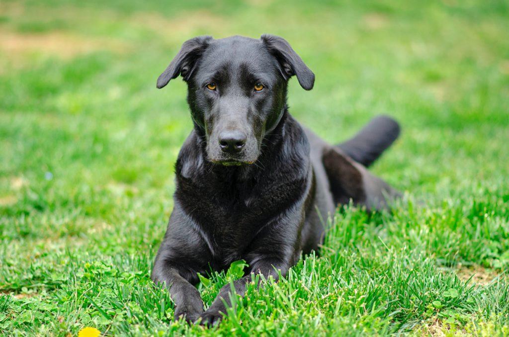 Labrador Retriever Size Guide