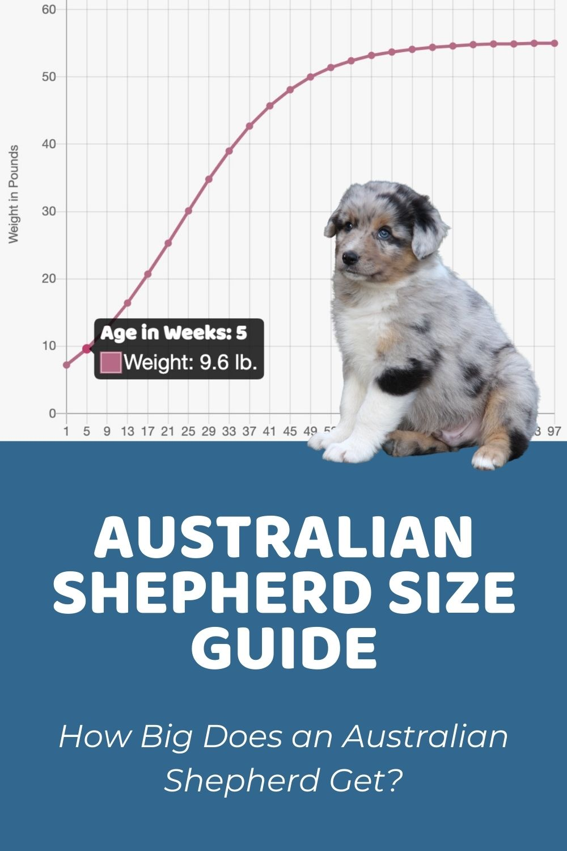 Australian Shepherd Size Guide_ How Big Does an Australian Shepherd Get_