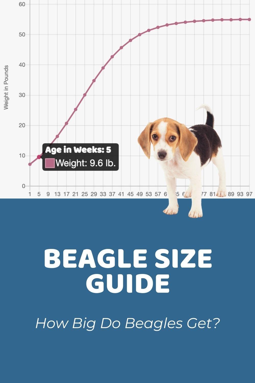 Beagle Size Guide_ How Big Do Beagles Get_