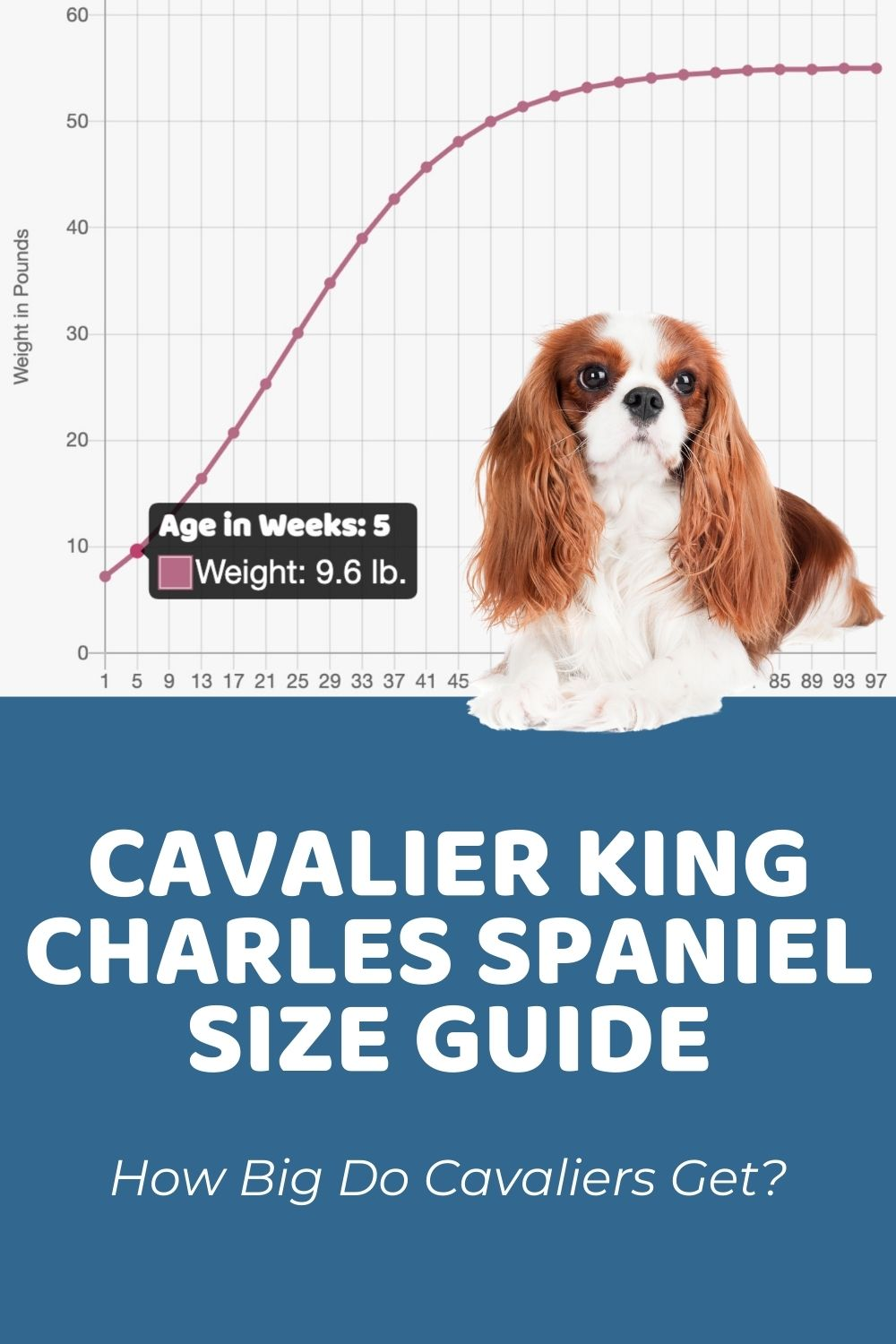 Cavalier King Charles Spaniel Size Guide_ How Big Do Cavaliers Get_