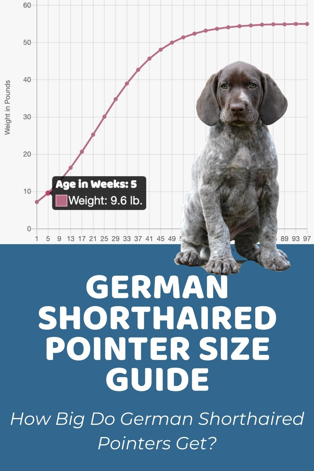 German Shorthaired Pointer Size Guide_ How Big Do German Shorthaired Pointers Get_