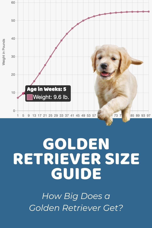 Golden Retriever Size Guide_ How Big Does a Golden Retriever Get_
