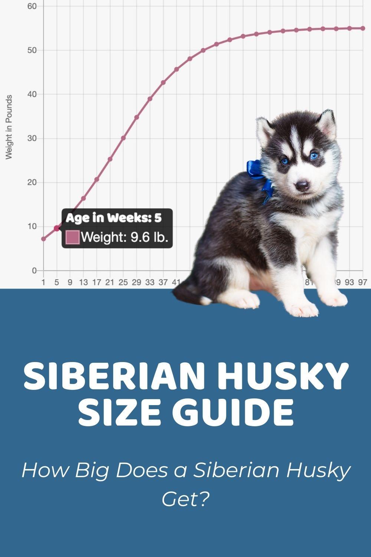 Siberian Husky Size Guide_ How Big Does a Siberian Husky Get_