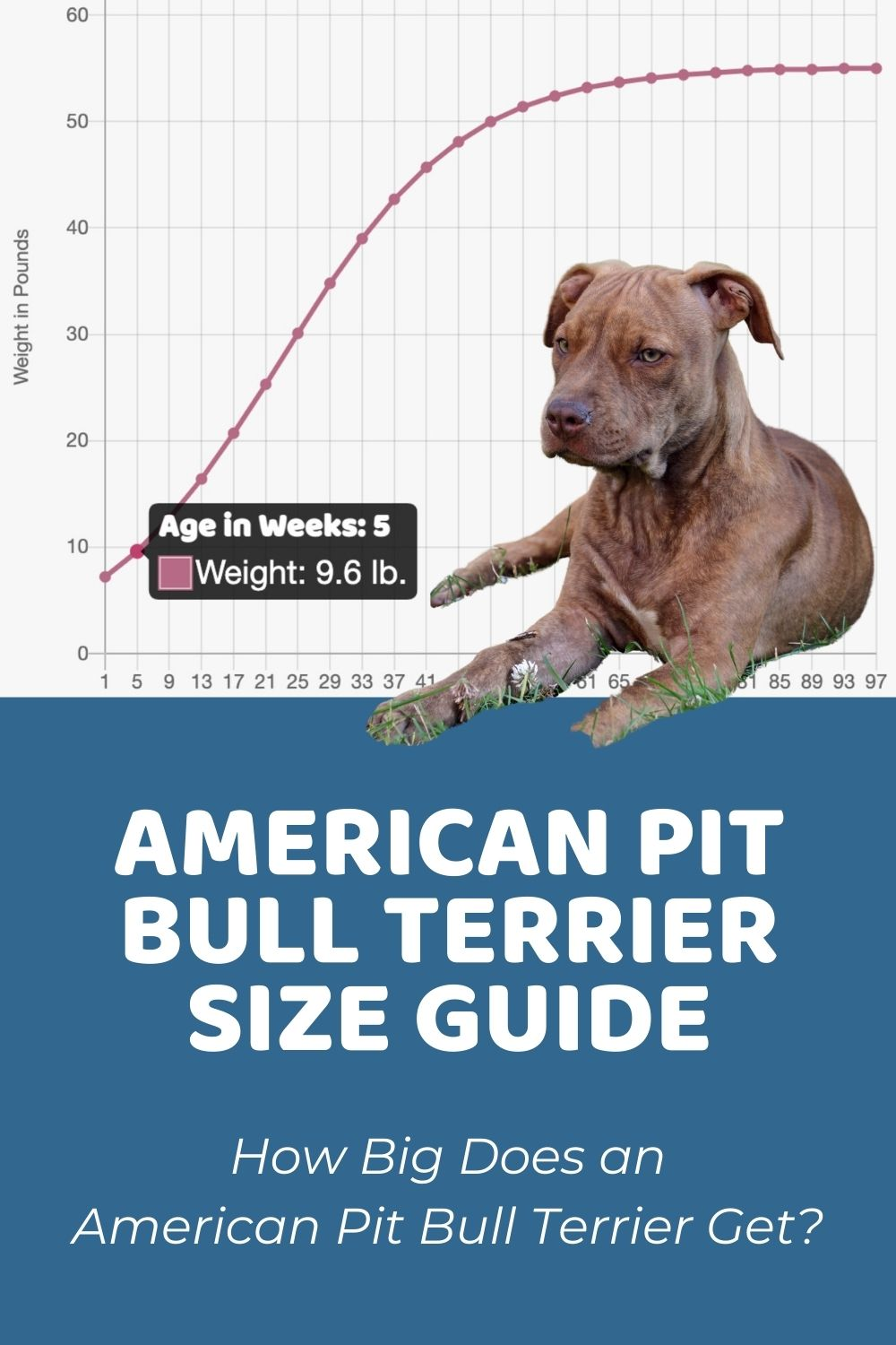American Pit Bull Terrier Size Guide_ How Big Does an American Pit Bull Terrier Get_