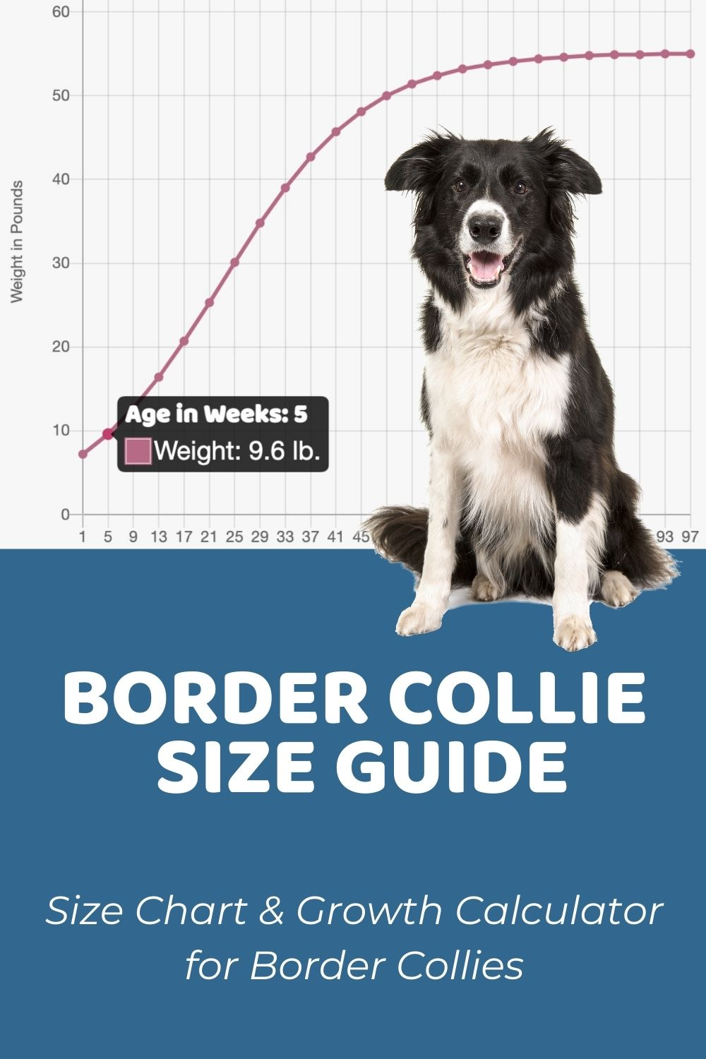 Border Collie Size Guide & Size Chart - Puppy Weight Calculator